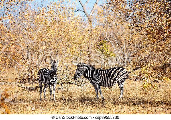 parc, zèbres, safari - csp39555730