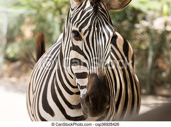 parc, zebra, safari - csp36928426