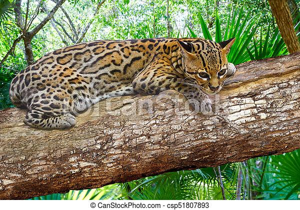 Pardalis Ocelote Leopardus Ocelot Kot Photomount Główny