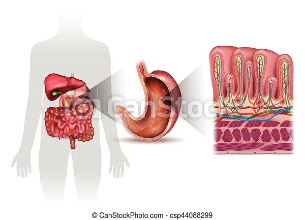 Pared, capas, detallado, estómago, anatomía. Capas, detallado ...