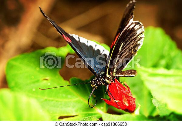 Parides Arcas Butterfly Close Up - csp31366658