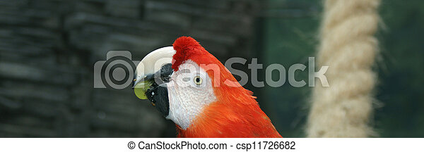 Parrot - red blue macaw - csp11726682