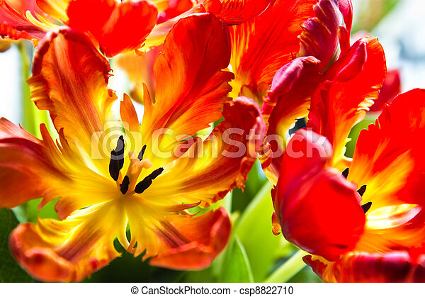 Parrot Tulips With Backlight Parrot Tulips Funny Spring Flowers