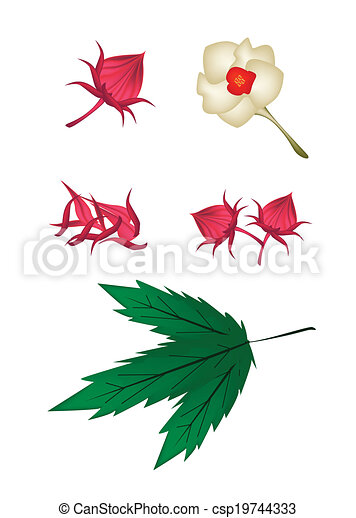 Parts Of Hibiscus Sabdariffa Or Roselle Plant Food And Herb An