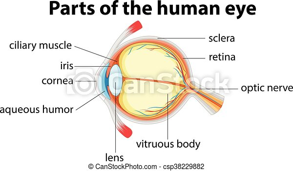 Parts of human eye with name illustration parts of human eye with name csp38229882 ccuart Images