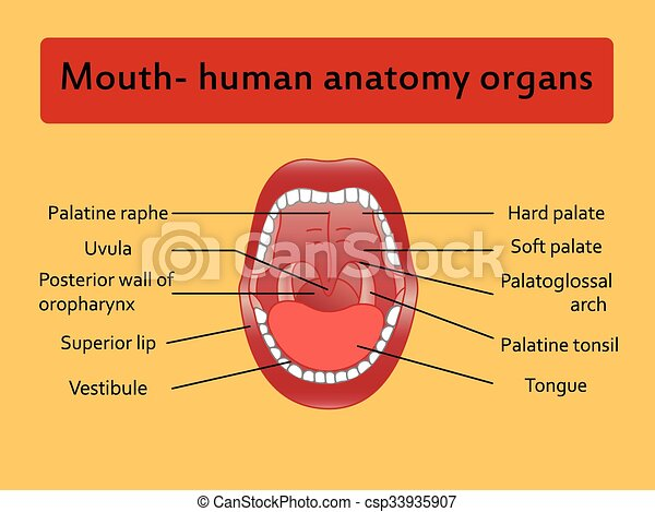 Parts of the mouth diagram wiring diagrams data base healthy teeth vector rh canstockphoto com at parts of human mouth open mouth and white healthy teeth vector diagram with explaining for parts of the ccuart Gallery