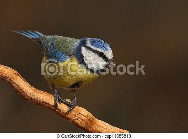 Parus caeruleus tit perched on a branch - csp11385810