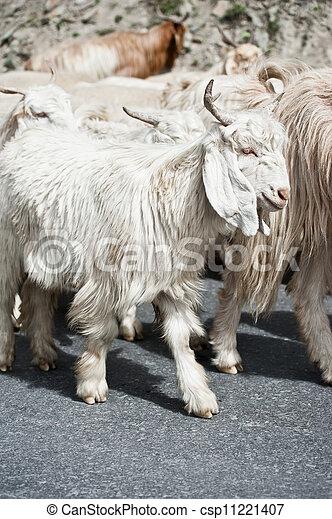 store best place cute (pashmina), ferme, kashmir, indien, blanc, région montagneuse, chèvre