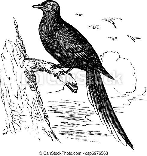 Passenger Pigeon or Wild Pigeon (Ectopistes migratorius), vintage engraving. - csp6976563
