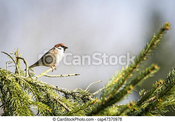 Passer Montanus sparrow in the sun - csp47370978