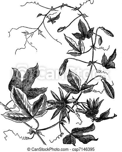Passion Flower or Passiflora caerulea, vintage engraving - csp7146395