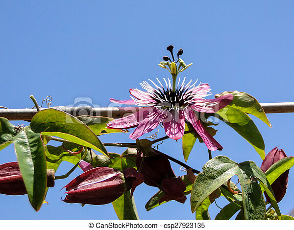 Passion flower pink passiflora stock photos search photographs and passion flower pink passiflora csp27923135 mightylinksfo