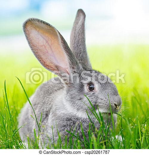 Conejo gris en césped verde - csp20261787