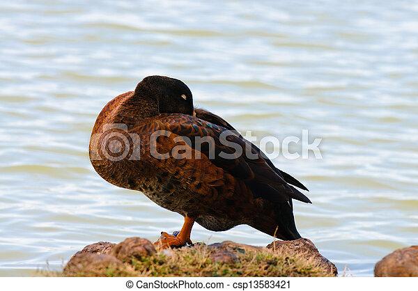 Pato salvaje durmiendo en roca junto a la orilla - csp13583421