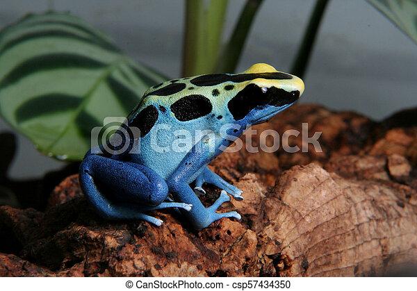 Patricia Dyeing Poison Dart Frog Dendrobates Tinctorius In Terrarium