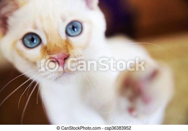 Patte Donner Chaton Haut Acclamation Sien Peu Mekong Doux Chat Portrait Blanc Bobtail Canstock