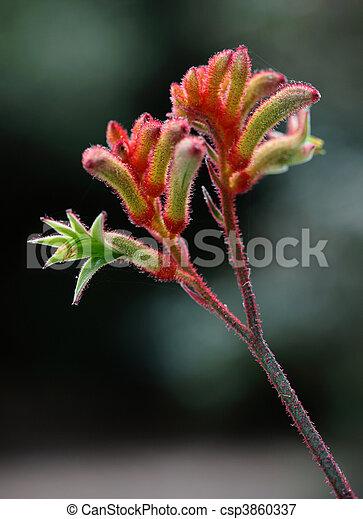 Patte Kangourou Kangourou Fleur Buisson Australien Patte