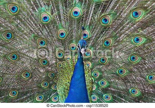 pavão, seu, coloridos, estação, penas, bragging, durante, mating - csp11538520