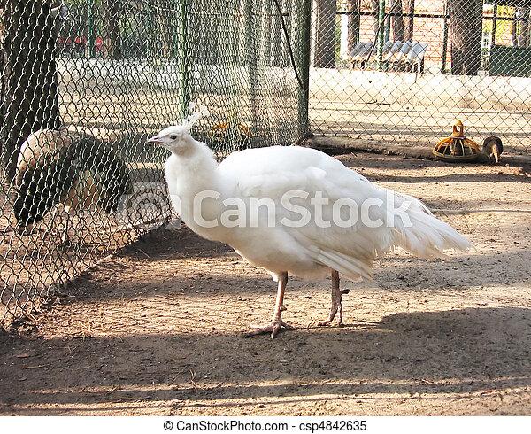 Pavone, bianco, femmina, albino. Pavone, foto, albino, femmina ...