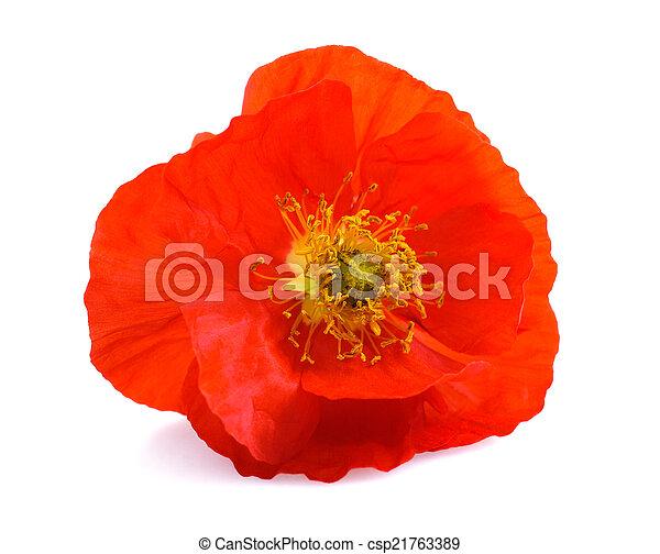 pavot, fleur - csp21763389