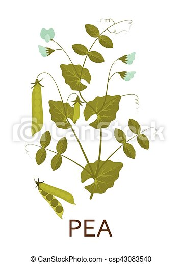 Pea plant with leaves and pods. Vector illustration. - csp43083540