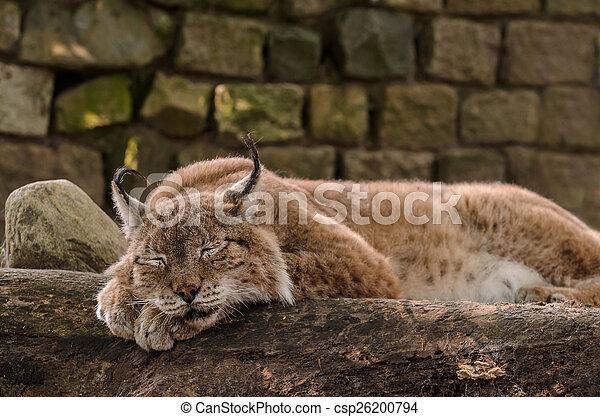 Peaceful sleeping Lynx - csp26200794