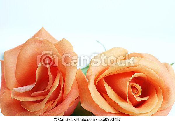 peach colored roses peach colored coral colored roses isolated on