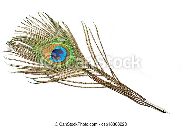 Peacock feather quill  isolated on white - csp18308228