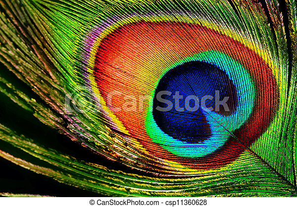 Peacock Feather - csp11360628