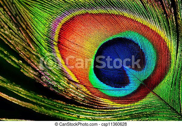 Peacock Feather - csp11360628