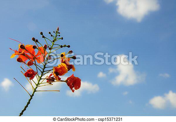 Peacock flowers on blue sky. - csp15371231