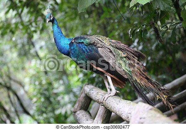 Peacock - csp30692477