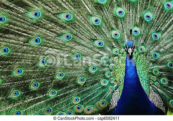 peacock - csp6582411