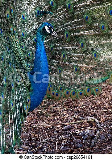 Peacock - csp26854161