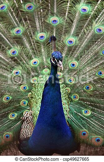 Peacock - csp49627665