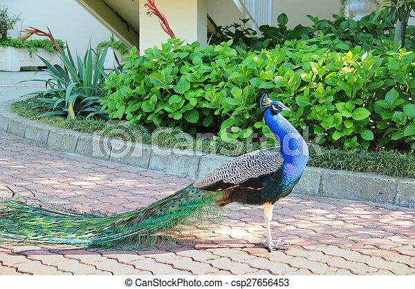 peacock - csp27656453