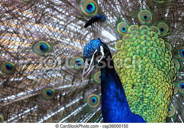 Peacock - csp36000150