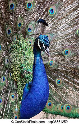peacock - csp36561259