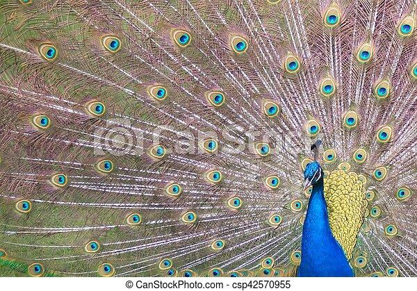 Peacock - csp42570955