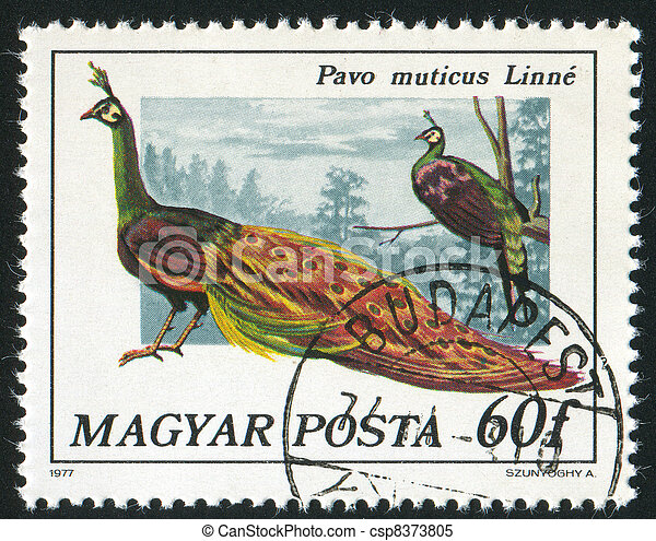 Peacock - csp8373805