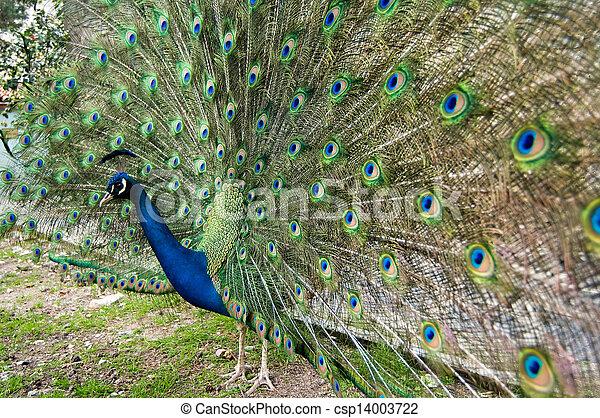 peacock - csp14003722