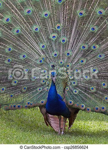 Peacock - csp26856624