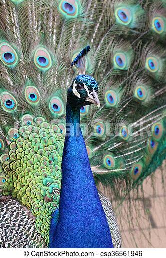 Peacock - csp36561946