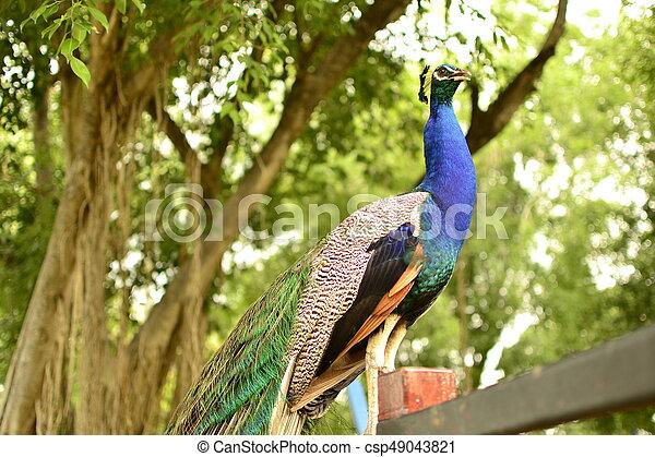 peacock - csp49043821