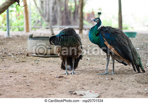 peacock - csp20701534