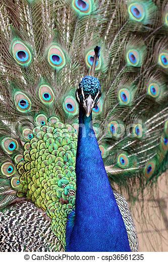 peacock - csp36561235