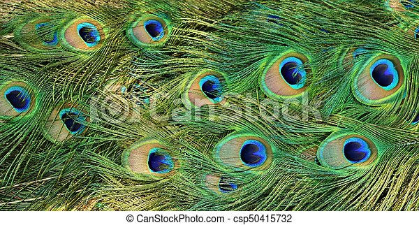 Peacock Tail Feathers - csp50415732