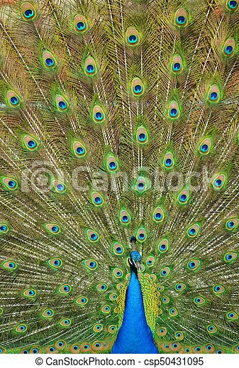 Peacock with Extended Feathers - csp50431095