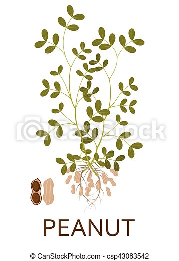 Peanut plant with leaves, stem and roots. Vector illustration. - csp43083542