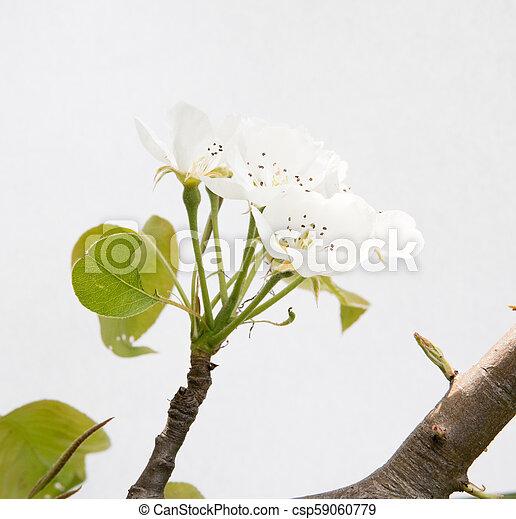 pear flower - csp59060779